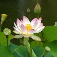 Interesting facts about lotus lotus symbolism lotus mightylinksfo