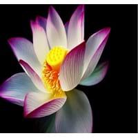 Lotus family scientific name of lotus lotus mightylinksfo